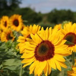 Blumenzwiebeln und Saatgut