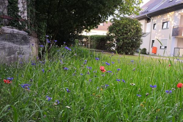 Blütenwiese im ersten Jahr nach der Aussaat
